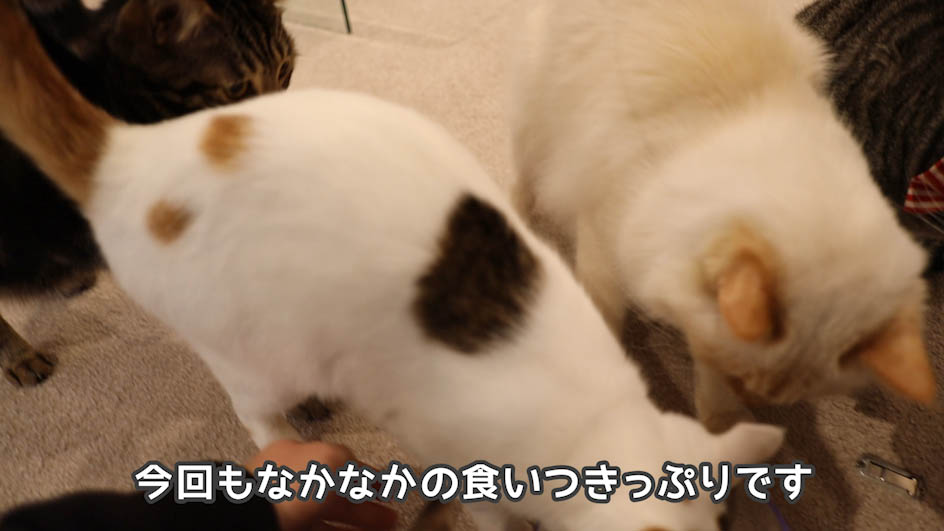 懐石zeppin5つのごちそうを食べる猫たち