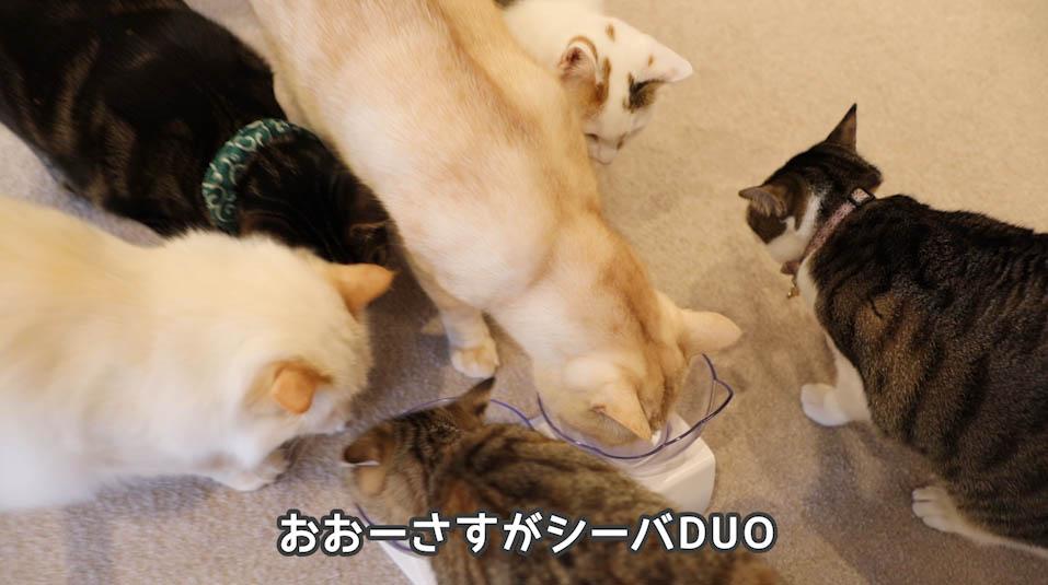 シーバDUO贅沢お魚味グルメセレクションを食べる猫たち